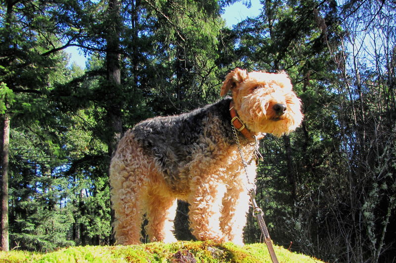 60Welsh Terrier Stella on Walk