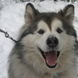 30Yukon the Malamute