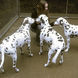 57Three Dalmatians