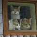 61Three Cats in Window